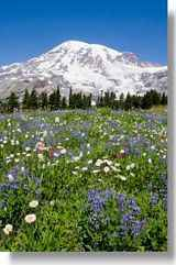 Rainier Wildflowers